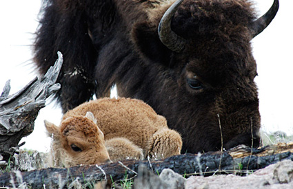 As North America's largest mammal, bison provide one of the last evolutionary links to the Pleistocene era, a period (1.8 million to 11,550 years ago) when huge mammals dominated the landscape.